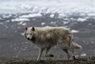 wolf01.jpg